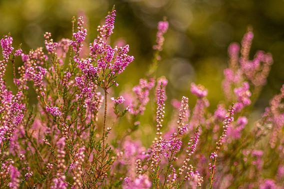 Heide in bloei van Tux Photography