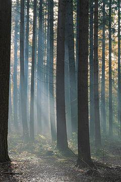Bos in  zonlicht met nevel