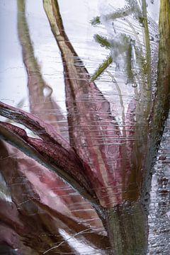 Amaryllis in ijs 1 van Marc Heiligenstein