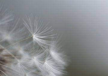 minimalistische pluis paardenbloem van Emajeur Fotografie