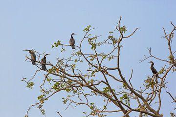 Vogels in een boom in de Okavango-delta van Botswana van Tjeerd Kruse