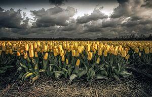 De tulpenvelden van Noord Holland