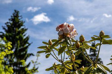Rhododendron bloem voor blauwe lucht van Alexander Wolff