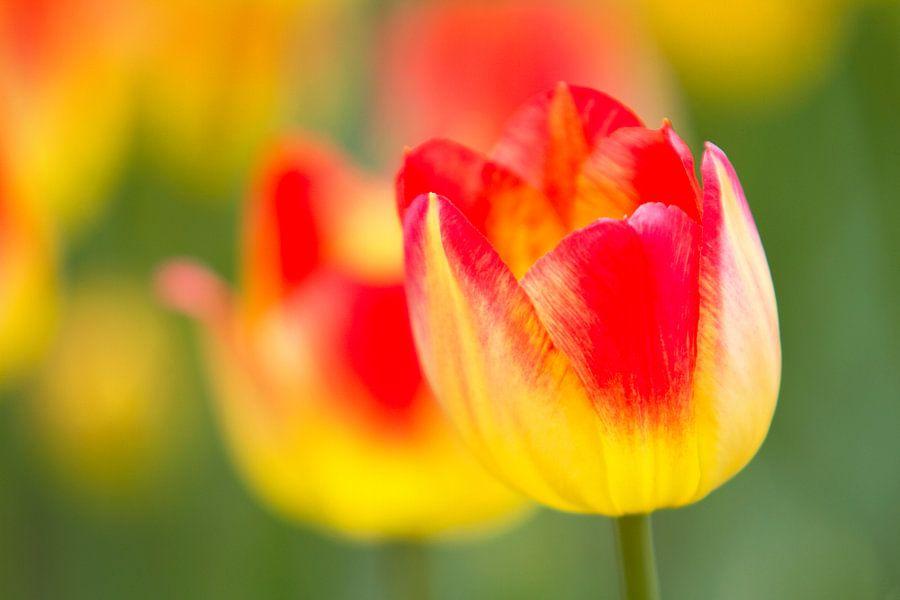 Tulipe Jaune & Rouge