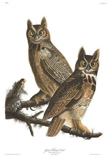 Amerikaanse Oehoe van Birds of America