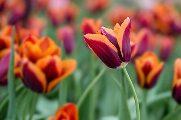 Tulpen von Vliner Flowers