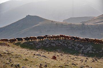 Schaapskudde in de bergen van Armenië bij Zorats Karer van