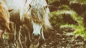Rispað 3 van Islandpferde  | IJslandse paarden | Icelandic horses