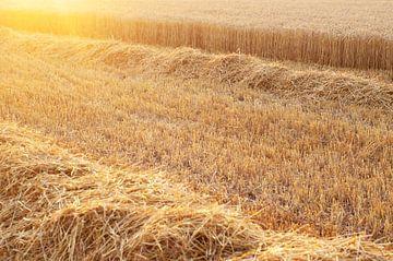 Graan veld tijdens zonsondergang van Marcel Rommens