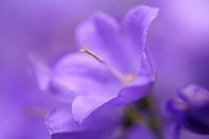 Hulde in het paars