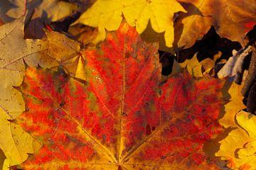 Feuille d'érable rouge, feuilles d'automne colorées gisant sur le sol, Allemagne