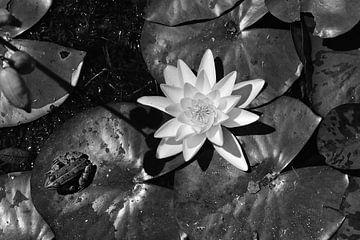 Frosch auf einem Seerosenblatt mit einer weißen Lilie. von Christa Stroo fotografie