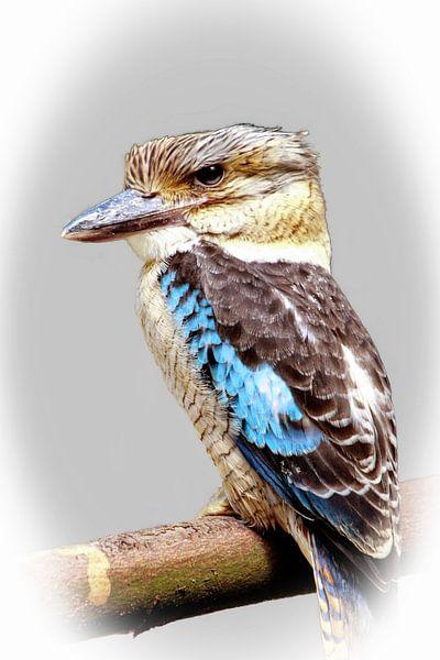 Kookaburra van Eduard Lamping