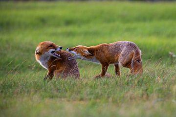 vechtende vossen van Ed Klungers