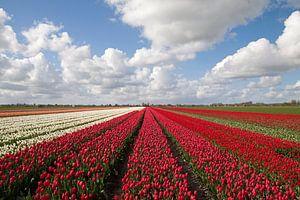 Hollandse bloeienden rode en witte tulpen