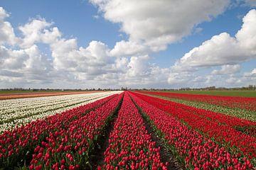 Hollandse bloeienden rode en witte tulpen van Maurice de vries