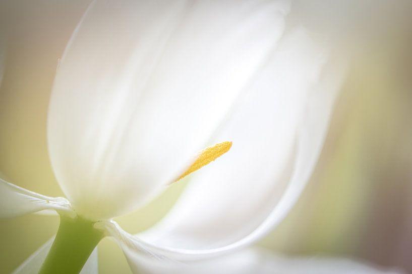 Tulpenweiß von Enna Butte