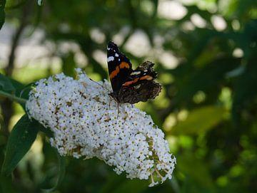 vlinder op een witte bloem van een vlinderstruik(2) van joyce kool
