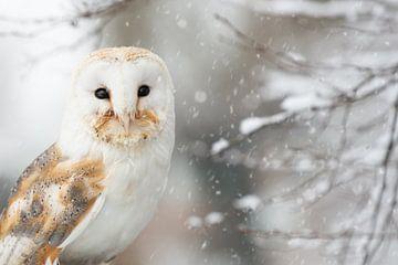 Schleiereule im Schnee von Cindy Van den Broecke