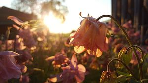 Schemering zon door roze bloemen van Keline van Dijk