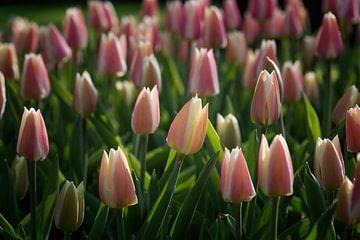 Tweekleurige tulpen roze/wit van Egon Zitter