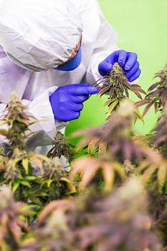 Medische cannabis van Felix Brönnimann