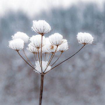Schneeblume von Carla Schenk