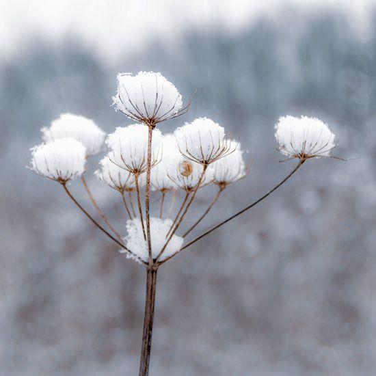 Sneeuwbloem