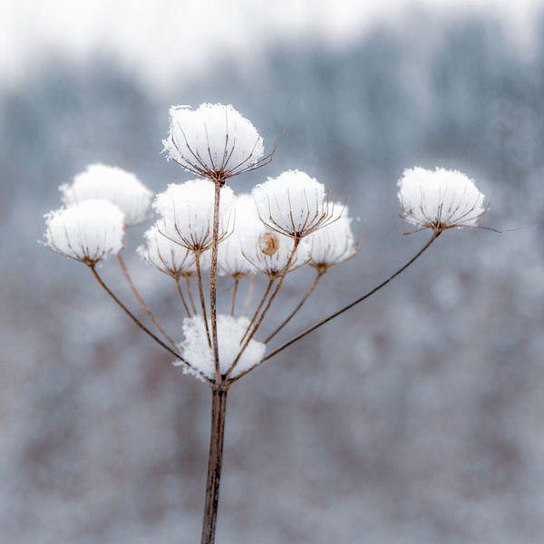 Sneeuwbloem van Carla Schenk
