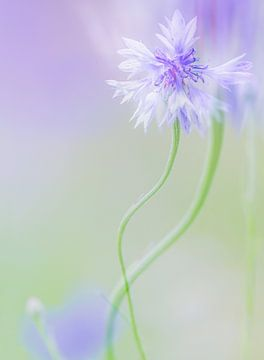 Paars witte bloem met groene achtergrond van Esther van Lottum-Heringa