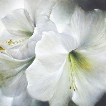 Witte Amaryllis in het Tegenlicht