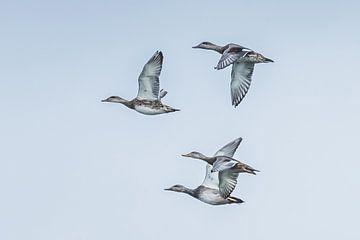 Les canards squaw sur Hennie Zeij