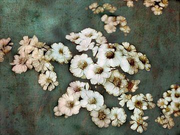 weisse Blüten Achillea von Claudia Gründler