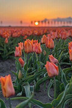 Rote Tulpen im Licht der aufgehenden Morgensonne. von Rossum-Fotografie