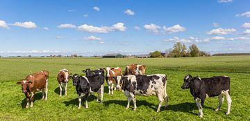 Bruine en zwart-witte koeien in het Nederlandse landschap van Marc Venema