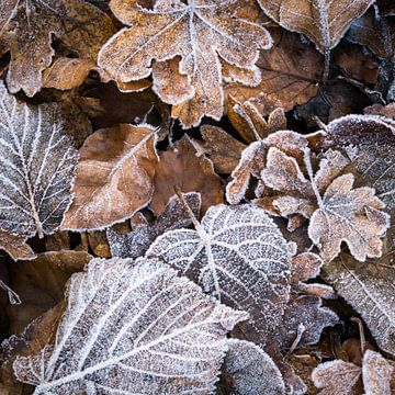 Frost im Laub von Tobias Luxberg
