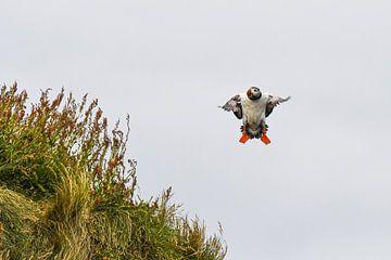 Papageientaucher (Puffin) der versucht zu landen