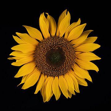 Sonnenblume von Peter van Dam