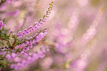 Blühendes Heidekraut mit Bokeh von Roosmarijn Bruijns