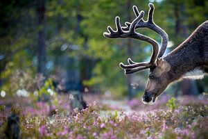 Rendier in Noorwegen van