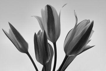 Schwarze und weiße Tulpen von J..M de Jong-Jansen