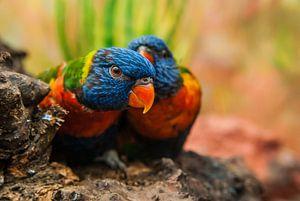 2 papegaaien van
