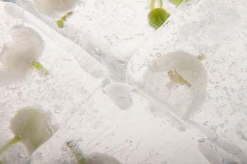 Convallaria majalis in ice 2 van Marc Heiligenstein