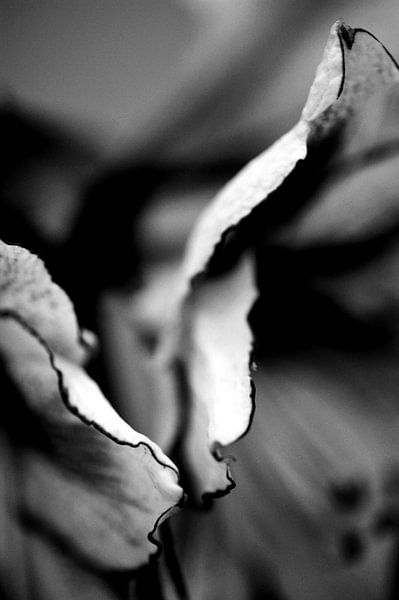 Geschulpte bladeren van Amarylis zwart wit low key van Mariska van Vondelen