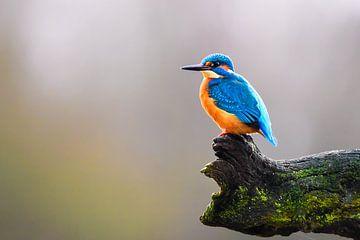 Eisvogel von Bert de Boer