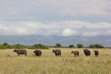 Buffels in Uganda. von Maarleveld Fotografie