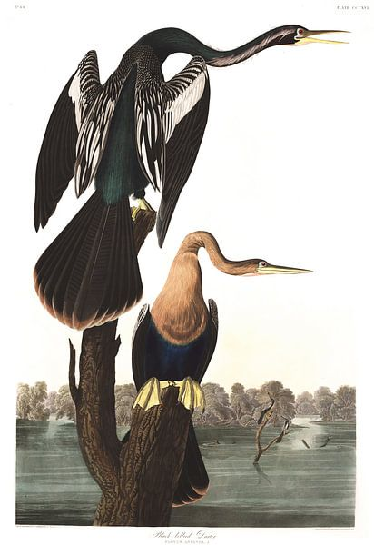 Amerikaanse Slangenhalsvogel van Birds of America