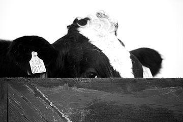 Koe gluurt over het hek van Harry Kolenbrander