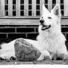 Zwiterse witte herder van Peter-Paul Timmermans