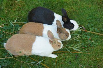 Drei Kaninchen von Michel van Kooten